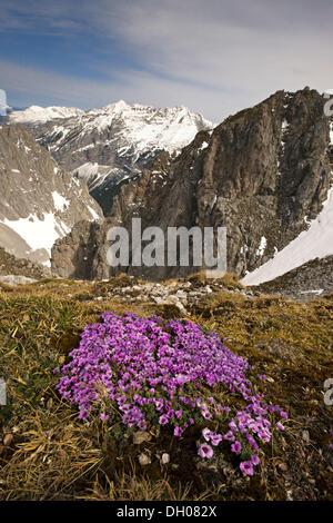Lila Steinbrech (Saxifraga Oppositifolia Subspecies Oppositifolia) vor Pleisen-Spitze Berg Und Hoher Gleirsch - Stockfoto
