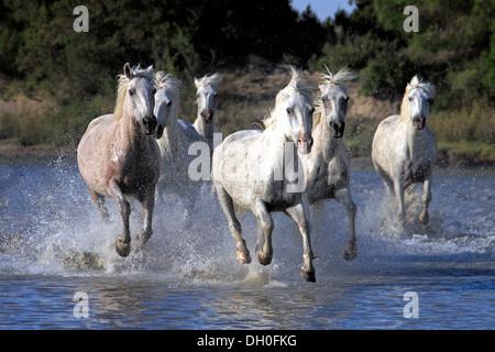 Pferde Französisch