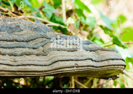 Zunderschwamm (Zündstoff Fomentaruis), eine Klammer-Pilz, der auf Bäumen wächst - Stockfoto