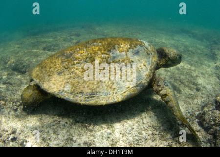 Alten grünen Meeresschildkröte (Chelonia Mydas) mit Algen auf der Schale der Nahrungssuche im seichten, unruhigen - Stockfoto