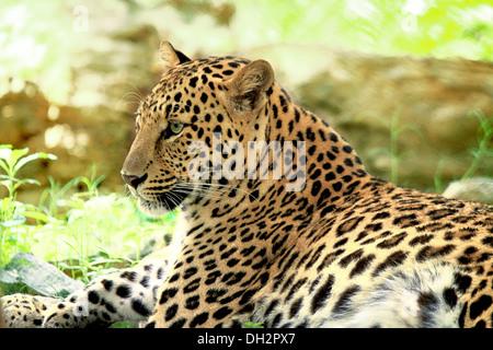 Leopard sitzen ruht - Stockfoto