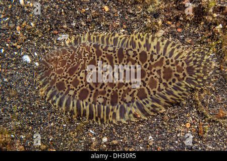 Teppich-Sohle, Liachirus Melanospilos, Lembeh Strait, Nord-Sulawesi, Indonesien - Stockfoto
