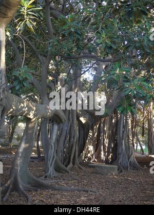 Wurzeln des Ficus Macrophylla Baum Palermo Botanischer Garten (Orto Botanico di Palermo), Sizilien, Italien - Stockfoto