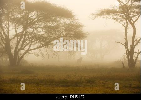 Gnus (Connochaetes Taurinus) im Morgennebel, Serengeti, Tansania - Stockfoto