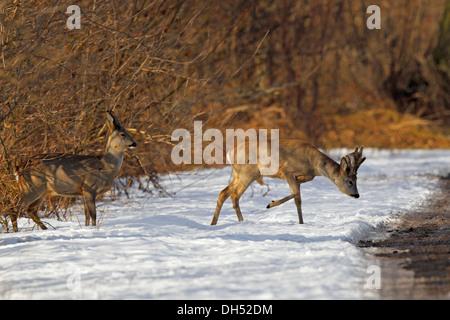 Reh (Capreolus Capreolus), Buck in samt und ein Reh überqueren einer Landstraße im Schnee, Natur-Reserve-Oberalsterniederung - Stockfoto