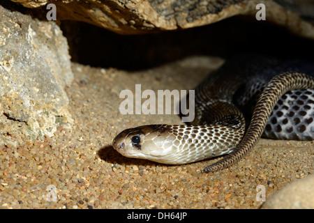 Giftige indischen Kobra (Naja Naja Naja), ursprünglich aus Indien, Indonesien und den Philippinen, Stuttgart, Baden - Stockfoto