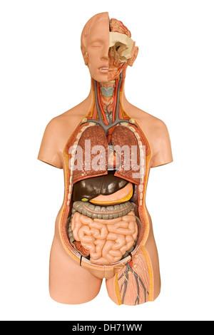 Niere, internen Organ, menschlichen Körper Stockfoto, Bild ...