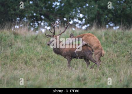 Männliche Rothirsch (Cervus Elaphus) Hirsch von weiblichen Hind in Herbst Brunft montiert wird. Studley Royal, North - Stockfoto