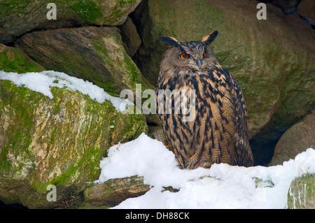 Adler-Eule (Bubo Bubo), Tierfreigehege, Nationalpark Bayerischer Wald, Bayern, Deutschland - Stockfoto