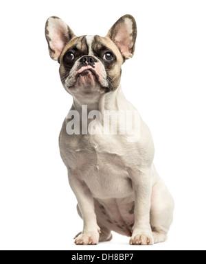 Französische Bulldogge sitzend, auf der Suche auf weißem Hintergrund - Stockfoto