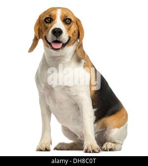 Beagle sitzen, keuchend vor weißem Hintergrund - Stockfoto