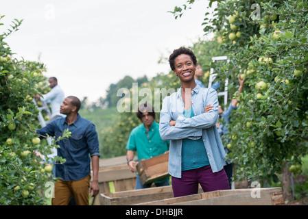 Einem organischen Obstgarten auf einem Bauernhof. Eine Gruppe von Menschen, die grüne Äpfel von den Bäumen pflücken. - Stockfoto