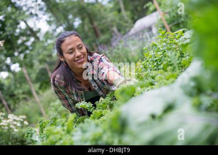 Eine Frau gelehnt, um frische Kräuter und Gemüse in einem Garten zu holen. - Stockfoto