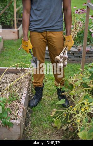 Ein Mann in Handschuhen Ernte Knoblauch Zwiebeln im Gemüsegarten. - Stockfoto