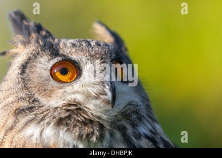 Europäische oder eurasische Uhu, Bubo Bubo, mit großen orangefarbenen Augen - Stockfoto