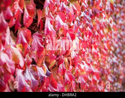 Die roten Blätter im Herbst von einem wildem Wein Parthenocissus quinquefolia - Stockfoto