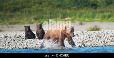 Braunbär-Sau und Cubs Angeln im Mikfik Creek, Mcneil River State Game Sanctuary, Südwest-Alaska, Sommer - Stockfoto