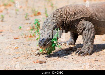 Komodo Dragon - Stockfoto