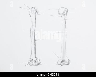 weißem Hintergrund-Vektor-Illustration von einem Oberarmknochen ...