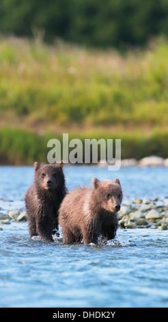 Brown Bear Cubs Angeln auf Lachs In Mikfik Creek, Mcneil River State Game Sanctuary, Südwest-Alaska, Sommer - Stockfoto