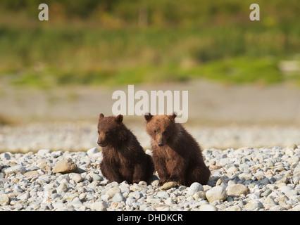 Brown Bear Cubs Standortwahl am Ufer des Mikfik Creek, Mcneil River State Game Sanctuary, Südwest-Alaska, Sommer - Stockfoto