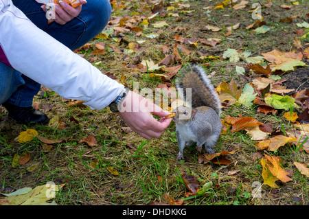 Frau, Fütterung wild grau Eichhörnchen mit Keksen in einem öffentlichen Park, Glasgow, Schottland, Großbritannien - Stockfoto