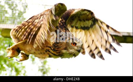 Sumpfohreule, Asio Flammeus, ist eine Art von typischen Eule, leptogrammica, im majestätischen Flug. - Stockfoto