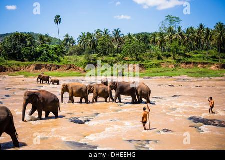 Pinnawala Elephant Orphanage, Elefanten und Mahouts im Maha Oya Fluss in der Nähe von Kegalle im Hill Country von - Stockfoto
