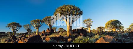 Köcher, Bäume, Namibia, Afrika. - Stockfoto