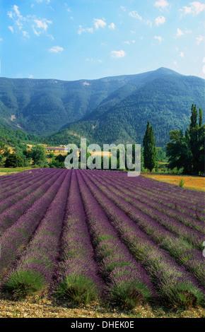 Ernte von Lavendel, Le Plateau de Sault, Provence, Frankreich - Stockfoto