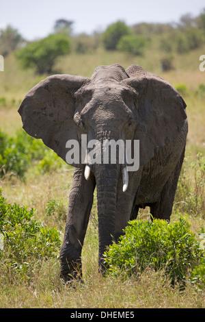 Afrikanischer Elefant (Loxodonta Africana), Masai Mara National Reserve, Kenia, Ostafrika, Afrika - Stockfoto