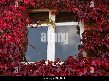 Wachstum von roten und grünen Efeu Blätter rund um ein Fenster - Stockfoto
