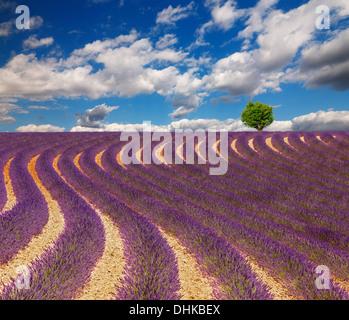 Lavendel-Feld mit schönen Wolken und ein Baum am Horizont. Frankreich, Provence. - Stockfoto