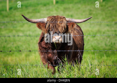 Porträt des Highland Cattle hinter Stacheldraht, Kananaskis Country, Alberta, Kanada - Stockfoto