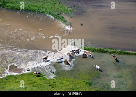 Niederlande, Ochten, Fluss Waal. Überschwemmungsgebiete. Überfluteten Land. Die Kühe. Luftbild - Stockfoto