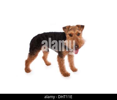 Welsh Terrier Hund stehend mit Zunge heraus isoliert auf weiss - Stockfoto