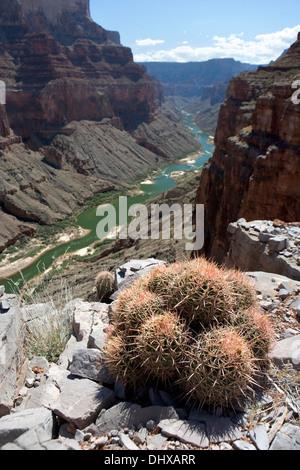 Ein Cluster von Echinocactus Polycephalus oder viele geleitet Barrel Cactus hoch auf einer Klippe in den Grand Canyon, - Stockfoto