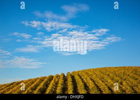 Reihen von Weinreben in Spring Valley Vineyards, Walla Walla County, Washington. - Stockfoto