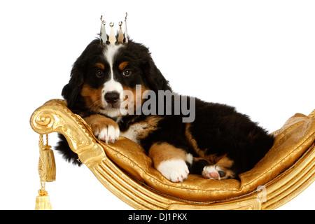 Berner Sennenhund Welpen 9 Wochen alt Handauflegen goldene Schere Stuhl mit Krone auf seinem Kopf Studio Bild gegen - Stockfoto