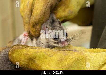 Essbare Siebenschläfer Glis Glis. Ein echtes Juwel behandelt eine Gefangenschaft essbare Doormouse. - Stockfoto