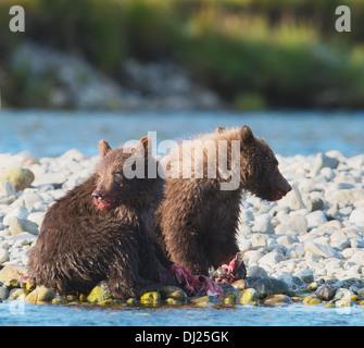 Brown Bear Cubs essen Lachs In Mikfik Creek, Mcneil River State Game Sanctuary, Südwest-Alaska, Sommer - Stockfoto