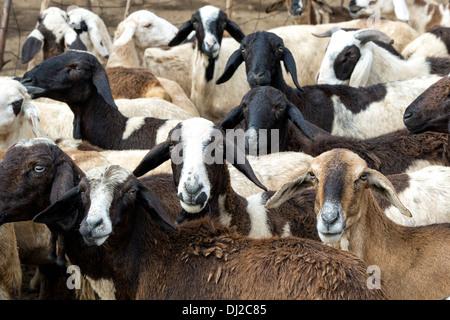 Herding domestizierten Ziegen in der ländlichen indische Gegend, Andhra Pradesh, Indien - Stockfoto