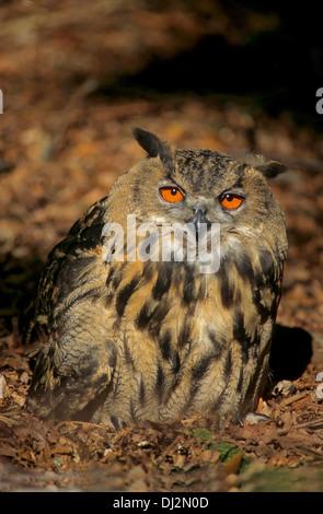 Uhu (Bubo Bubo), eurasische Adler-Eule (Bubo Bubo) - Stockfoto