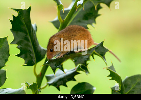 Zwergmaus Micromys Minutus auf Holly Stamm - Stockfoto
