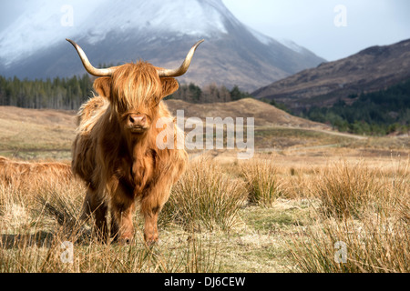 Highland Kuh in schottische Landschaft - Stockfoto