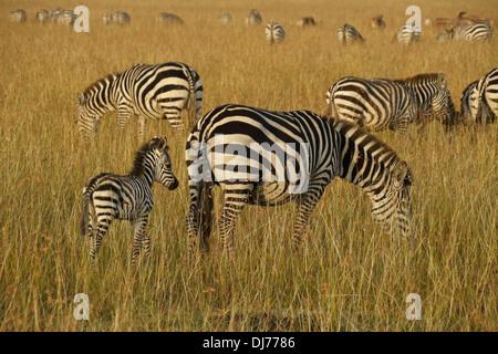 Herde von Burchell Zebras grasen, Masai Mara, Kenia - Stockfoto
