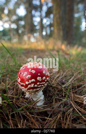 Fliegenpilz; Amanita Muscaria; Herbst; UK - Stockfoto