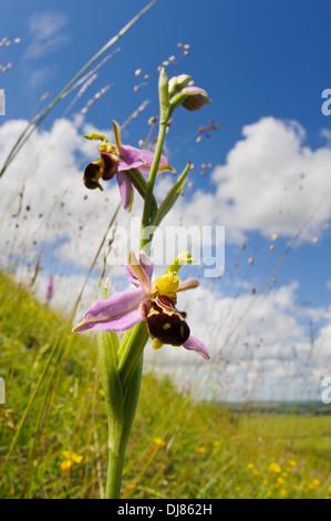 Ein Blütenstand der Biene Orchidee (Ophrys Apifera) wächst inmitten Beben Grass (Briza Media) auf einem Hügel bei - Stockfoto