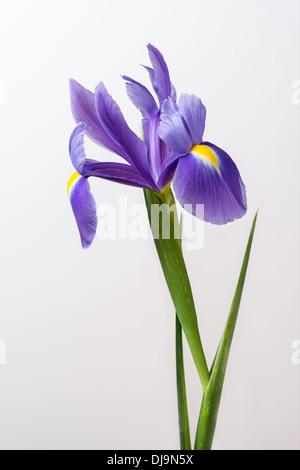 Iris Blume mit Stamm und Blätter in Nahaufnahme auf einfachen Hintergrund. - Stockfoto