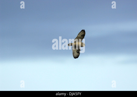 Short-eared Eule Asio flammeus - Stockfoto
